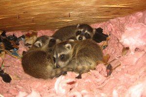 raccoon babies in attic